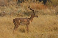 Impala stance Stock Photo