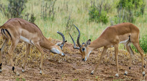 Impala Stand Off Stock Images