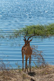 Impala standing on Chobe riverfront Botswana Africa Stock Images