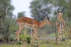 Impala standing in the rain. Two male Impalas standing in the rain Stock Photos