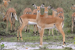 Impala standing in the rain. Impala herd in the rain Stock Images