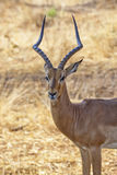 Impala Stare. Curious Impala observing our actions royalty free stock photos