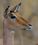 Impala staring. At approaching predator in Kruger National Park, South Africa Stock Image