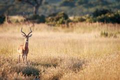 An Impala starring at the camera. Royalty Free Stock Image
