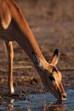 Impala su waterhole Fotografia Stock