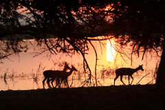 Impala at sunset. Impala walking along the edge of the pan at Mkuze game reserve at sunset Stock Photos