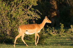 Impala in Sunset. On African plains Stock Image
