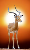 Impala at sunset Royalty Free Stock Images