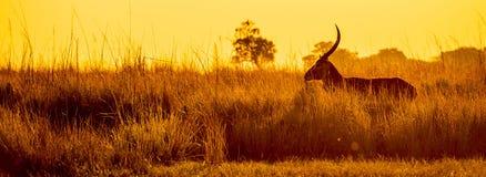 Impala Sunset Silhouette Stock Images