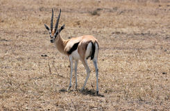 Impala, Tanzânia Foto de Stock Royalty Free