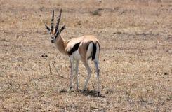 Impala, Tanzania. Impala looking at camera in Tanzania, Africa Royalty Free Stock Photo