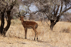 Impala, Tanzania. Impala looking out for predators, Tanzania, Africa Stock Images