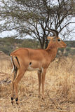 Impala in Tarangire Park (Tanzania) Royalty Free Stock Photography