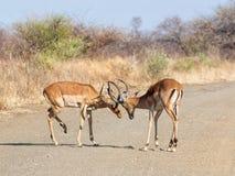 Impala Taranuje bój obrazy royalty free