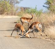 Impala Taranuje bój fotografia royalty free