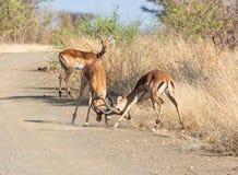 Impala Taranuje bój zdjęcie stock