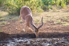 Impala taranuje puszek na jego kolano wodzie pitnej przy zmierzchem Zdjęcie Royalty Free