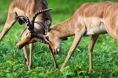 Impala territorial fight for dominanace. Two male impalas in a territorial fight to establish dominance during the rutting season in summer royalty free stock photos