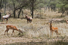 Impala and Topi antelope Stock Photos