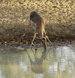 Impala-Trinken Lizenzfreie Stockbilder