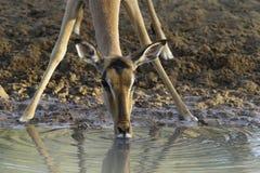 Impala-Trinken Lizenzfreie Stockfotos