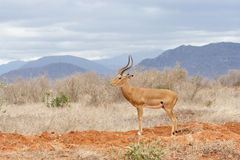 Impala in Tsavo. Stockfotografie