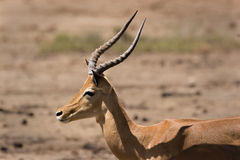 Impala in Tsavo Stock Photography