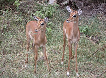 Impala Twins Stock Photos