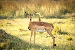 Impala with two red-billed oxpeckers. In Botswana Stock Photo