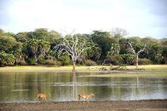 Impala. Two impala walking along the shore of a lake in Selous Game Reserve, Tanzania, Africa stock photo