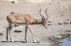 Impala u. x28; u. x28; Aepyceros melampus& x29; u. x29; Antilope an einer Wasserstelle Stockbilder