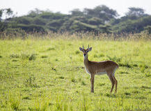 Impala in Uganda lizenzfreies stockbild