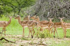 Impala in Umfolozi Game Reserve, South Africa, established in 1897 Stock Photo