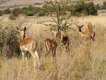 Impala in una riga Fotografie Stock Libere da Diritti