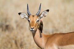 Impala und oxpecker stockbilder