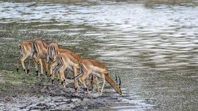Impala w Kruger parku narodowym, Południowa Afryka Fotografia Stock