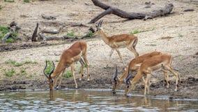Impala w Kruger parku narodowym, Południowa Afryka Obrazy Stock