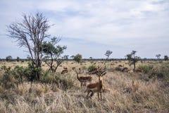 Impala w Kruger parku narodowym, Południowa Afryka Zdjęcie Stock