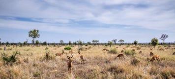 Impala w Kruger parku narodowym, Południowa Afryka Obrazy Royalty Free