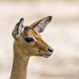 Impala w Kruger parku narodowym, Południowa Afryka Fotografia Royalty Free