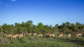 Impala w Kruger parku narodowym, Południowa Afryka Zdjęcie Royalty Free