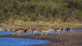 Impala w Kruger parku narodowym, Południowa Afryka Zdjęcia Stock