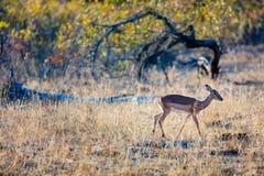 Impala w Południowa Afryka Obraz Royalty Free