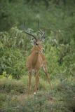 Impala w sawannie Fotografia Stock