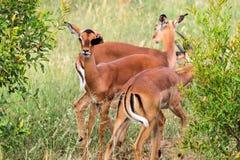 Impala wachsam im Nationalpark bushs Aepyceros melampus Südafrikas Kruger Stockfotos