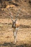 Impala walking in the zoo Stock Image