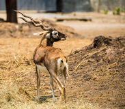 Impala walking in the zoo Stock Photos