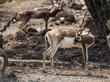 Impala walking in the zoo Royalty Free Stock Photos