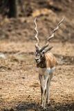 Impala walking in the zoo Stock Photo
