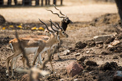 Impala walking in the zoo Royalty Free Stock Photography